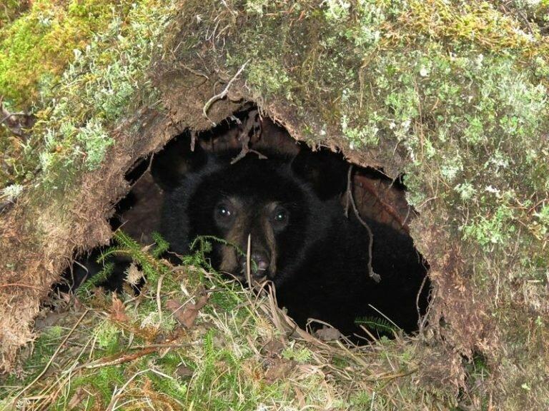 если картинки медвежьей берлоги знаю, что