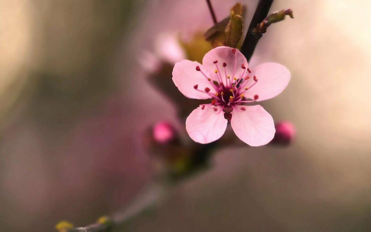 Розовый цветок вишни макро. Обои на телефон.