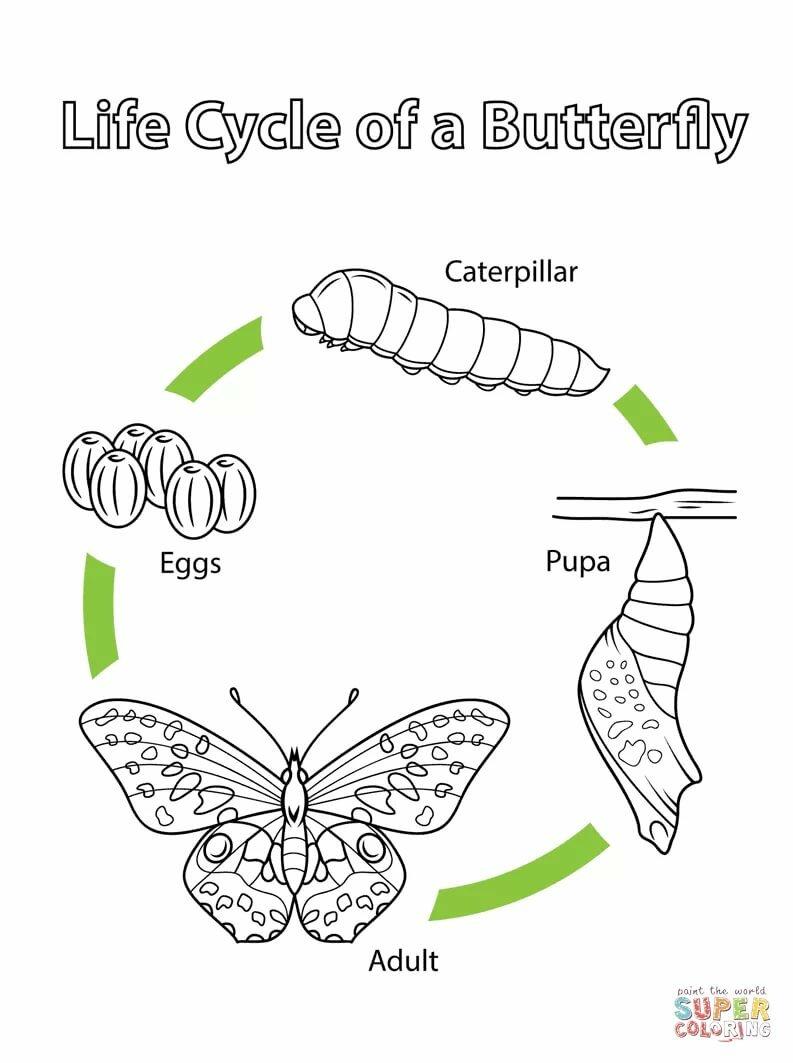 """""""Раскраска Жизненный цикл бабочки Раскраски для детей ..."""