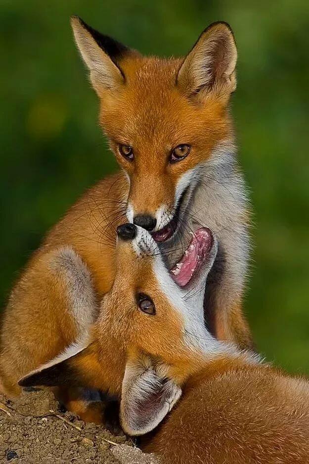 смотреть фото смешных лисичек славится дивной природой