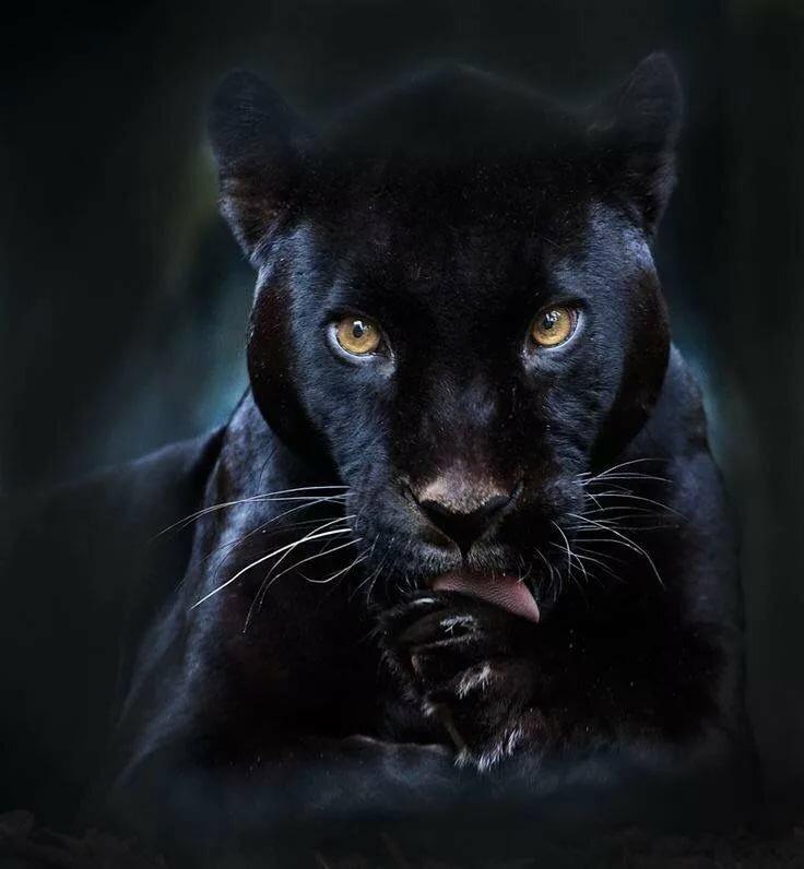 картинки с изображением черной пантеры будут