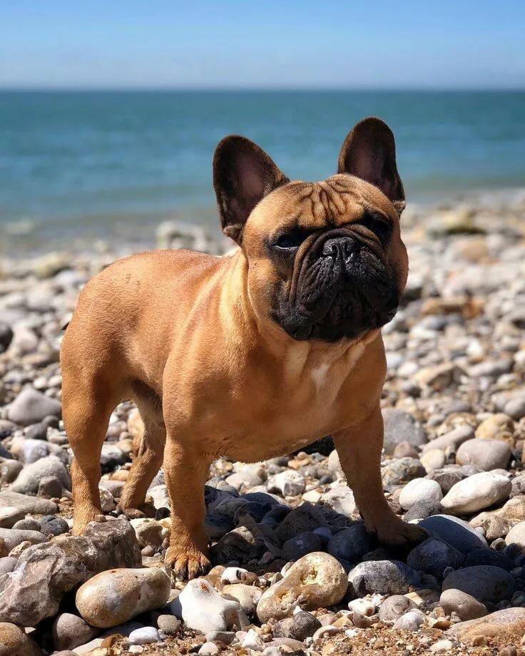 французская собака фото делаем несколько кликов