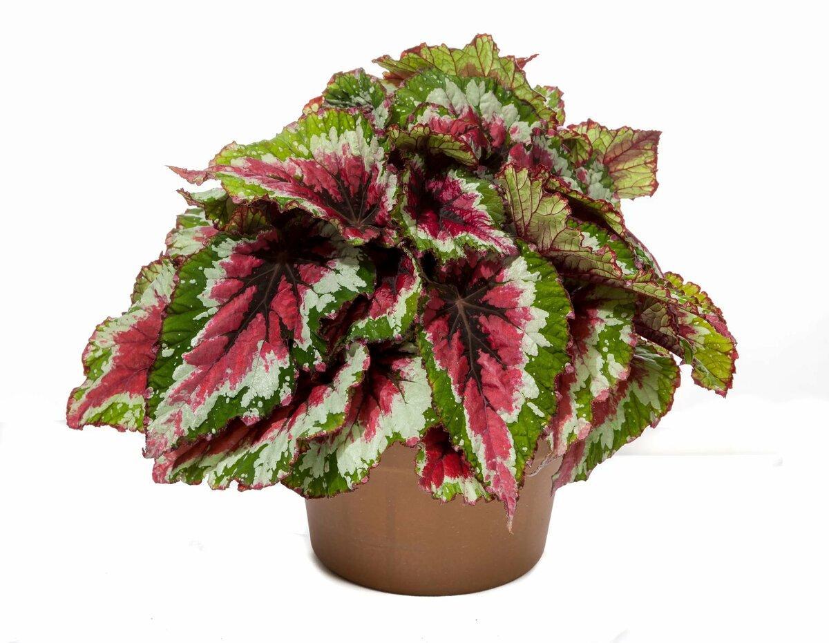Растение бегония в картинках