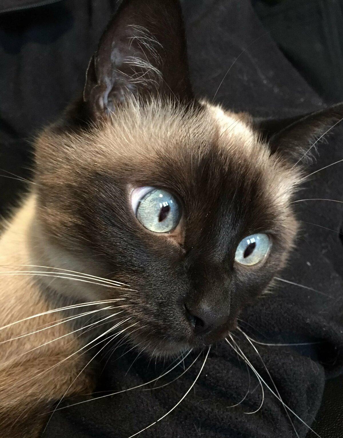 Смешные картинки котов сиамских