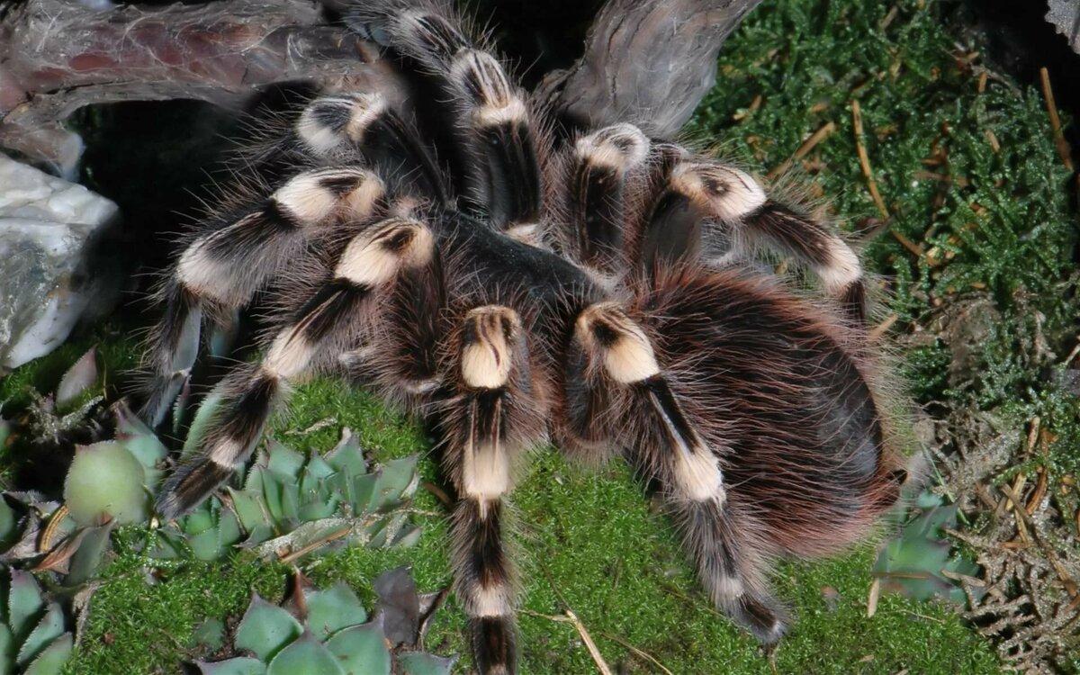 как картинки самава большова паука конечно