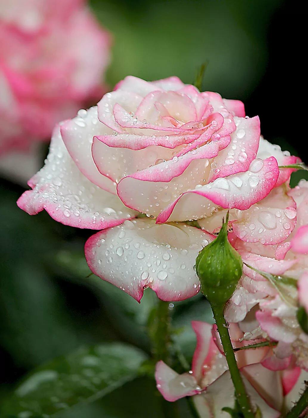 Марта-сирень, картинки с розами фото