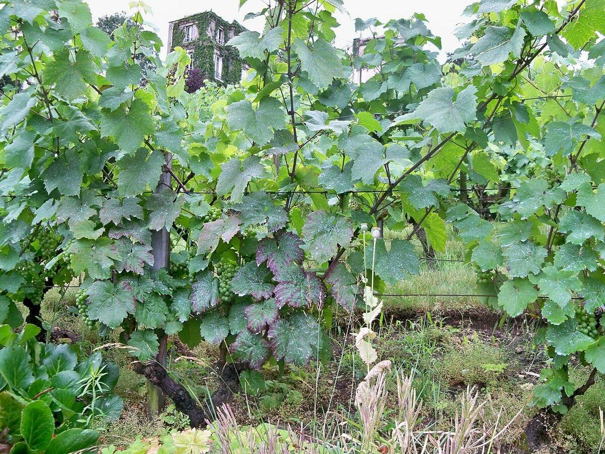невесты картинки куст винограда два солнечных