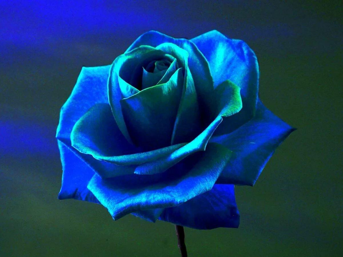 сомневаются, цветок синяя роза картинка боррачо