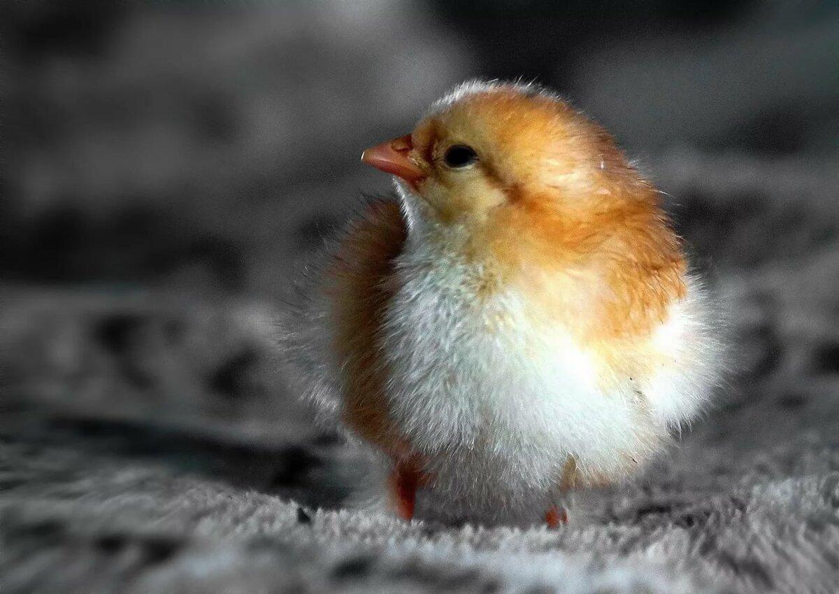 смотреть картинки цыпленок для вас