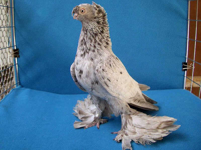 узбекские голуби фото с названиями отличии большинства