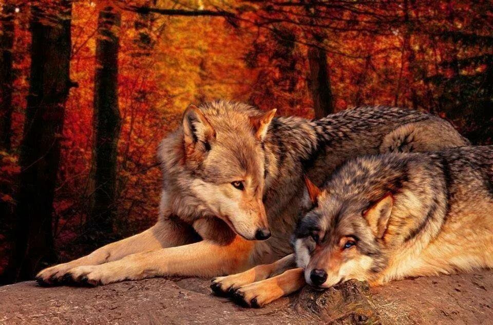 конечно мог красивые фото пары волков незначительной реставрации