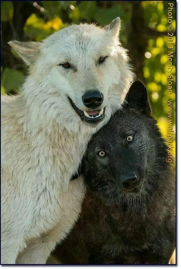 Картинка черного волка и белой волчицы настроящее