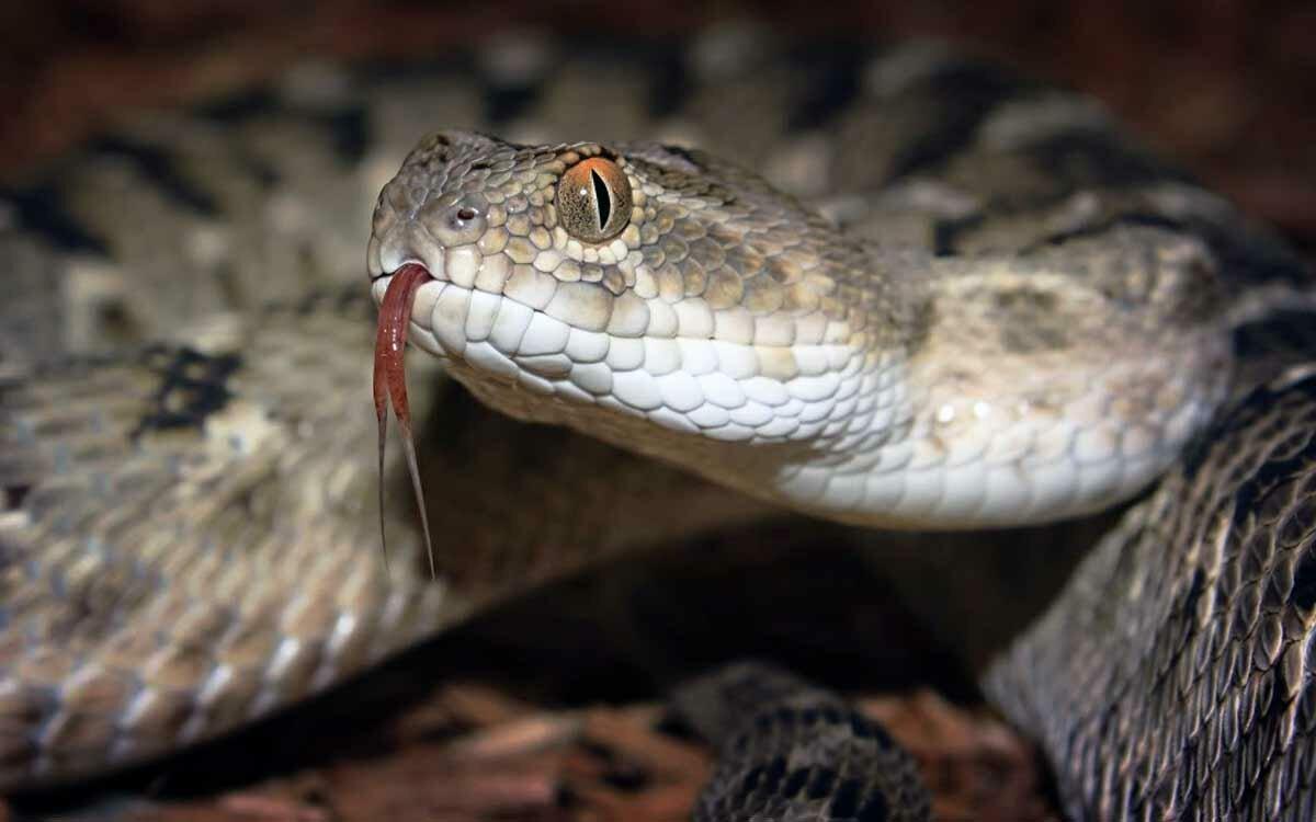 Самая ядовитая змея картинки