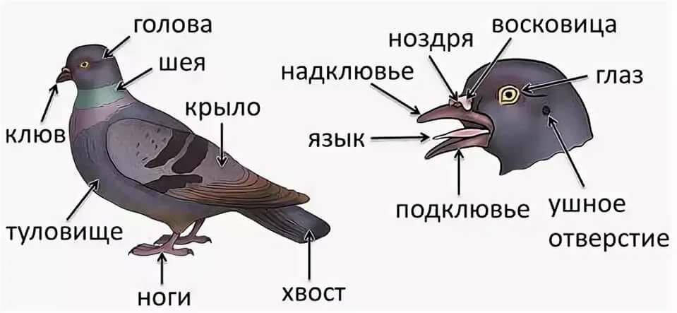 Внутренние строение птицы картинка