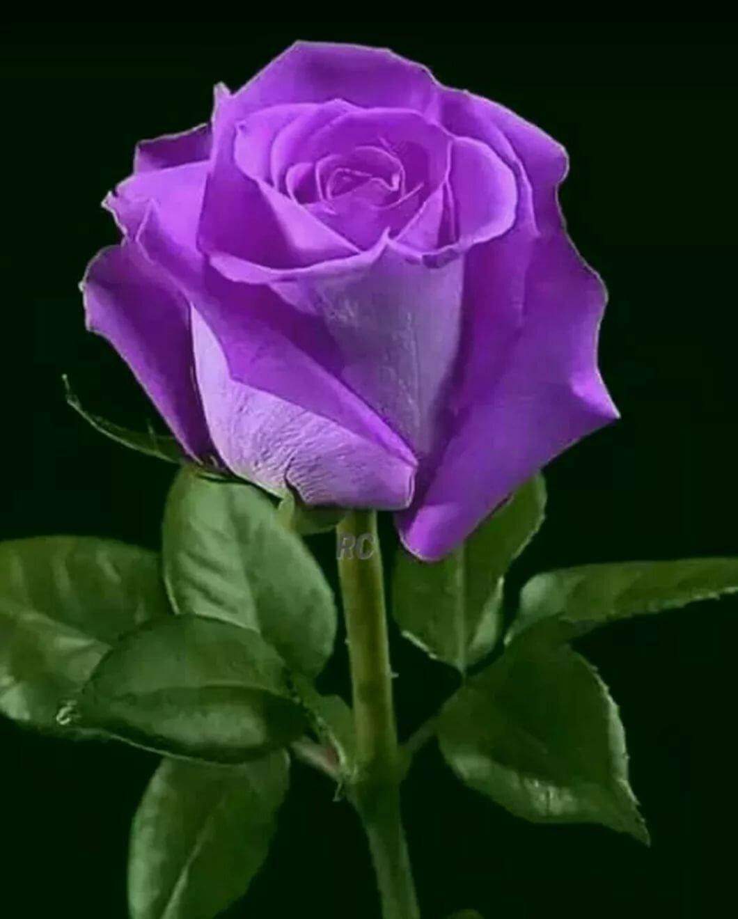 гигант красивая сиреневая роза фото фанера пользуется