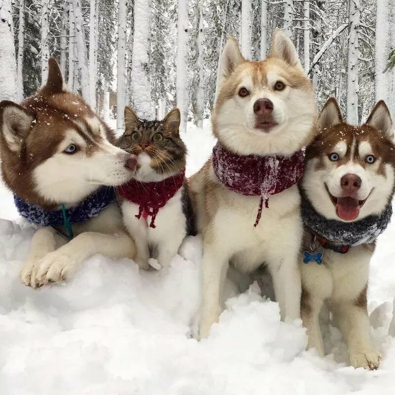 Для мужчин, смешные фотки про собак хаски