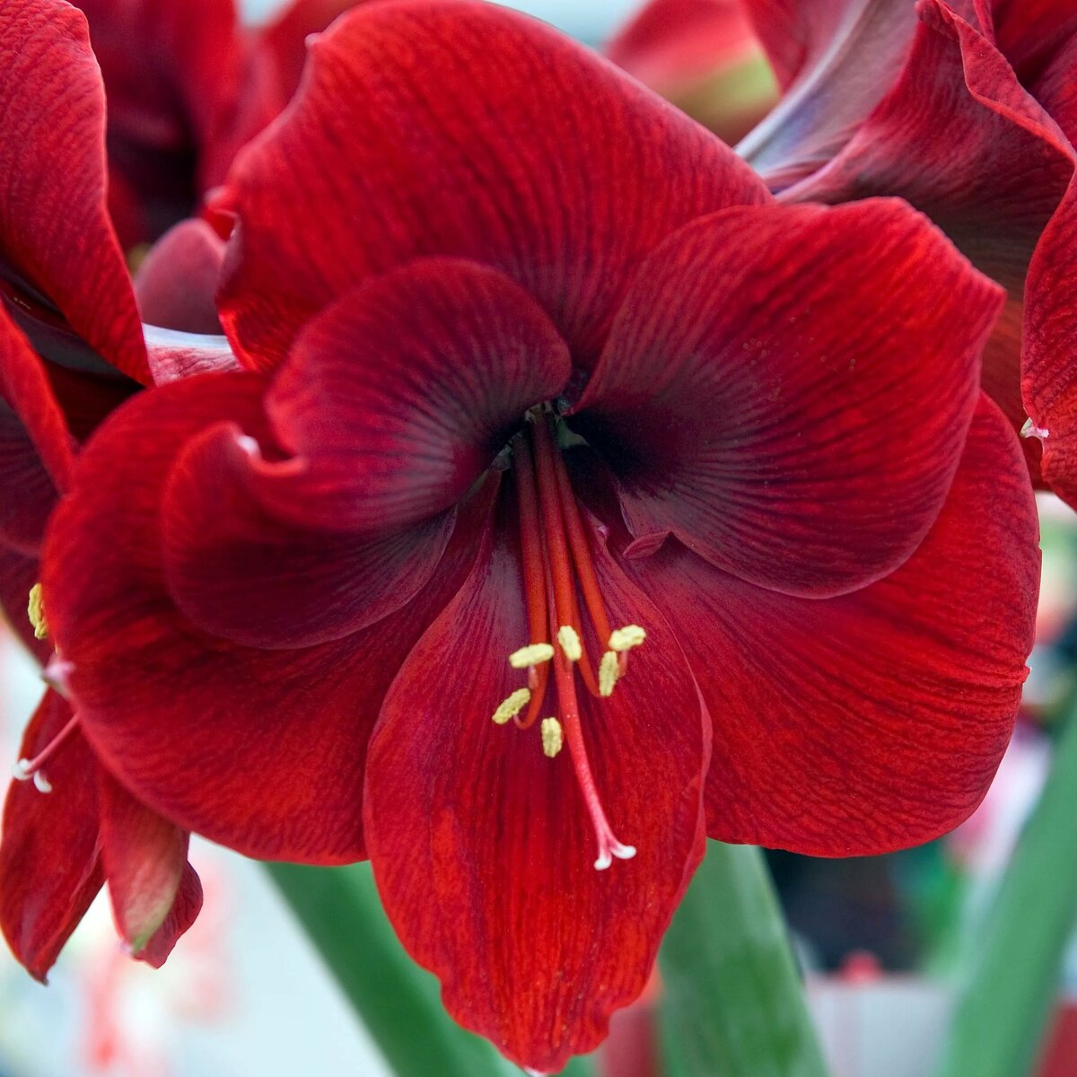 Цветов белорусской, цветы амариллис купить москва