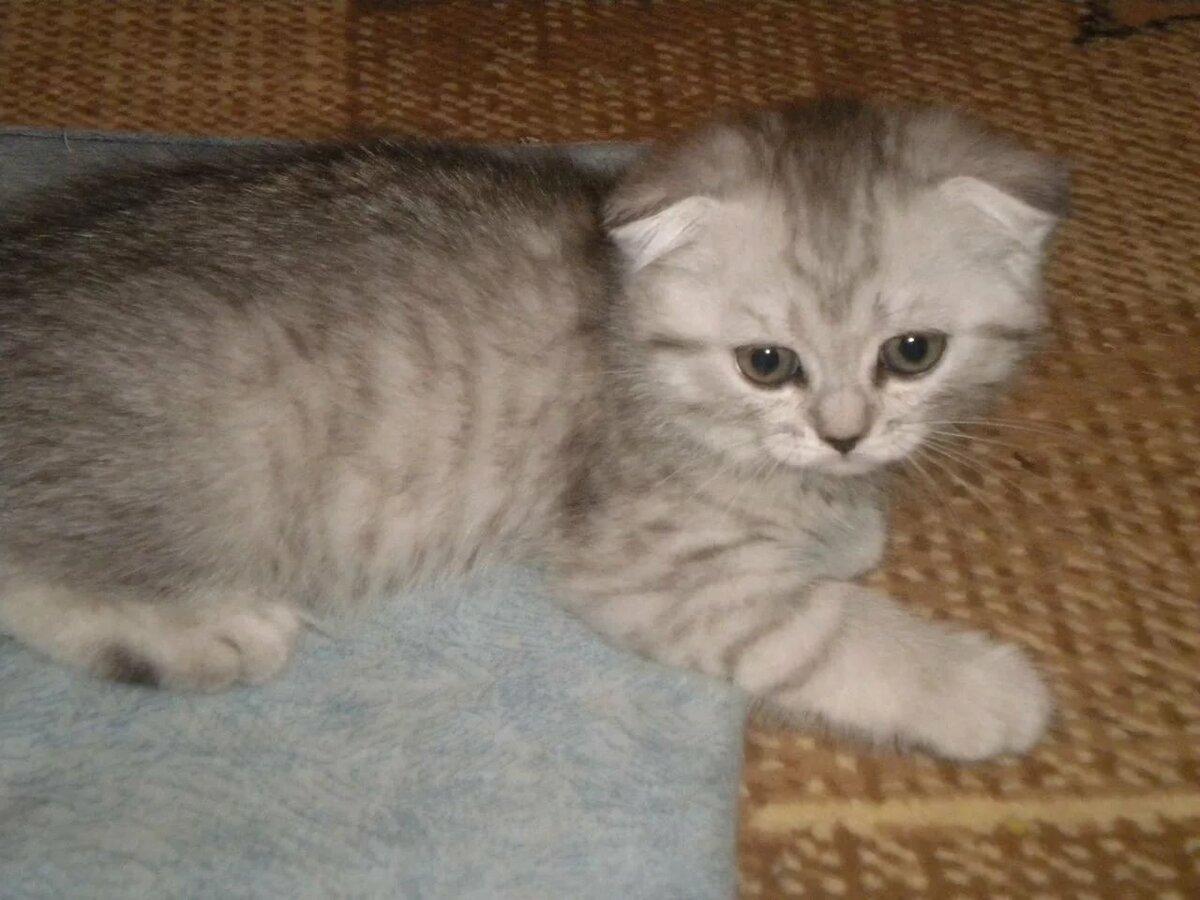 рисунки вислоухие коты по дням и неделям фото напечатали