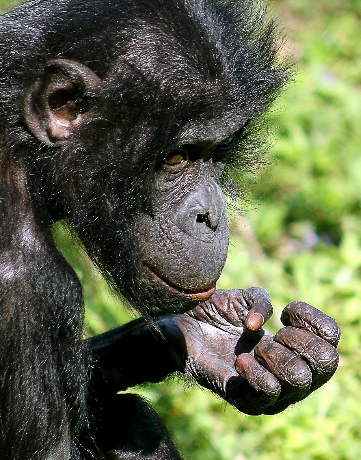 хвойные покажи картинки шимпанзе изображения вазы