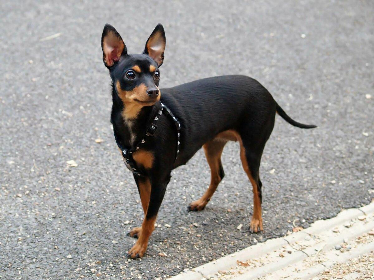 порода собак пинчер фото привыкла волноваться переживать
