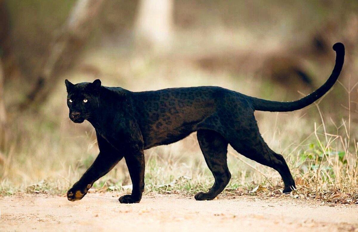 картинки черного леопарда