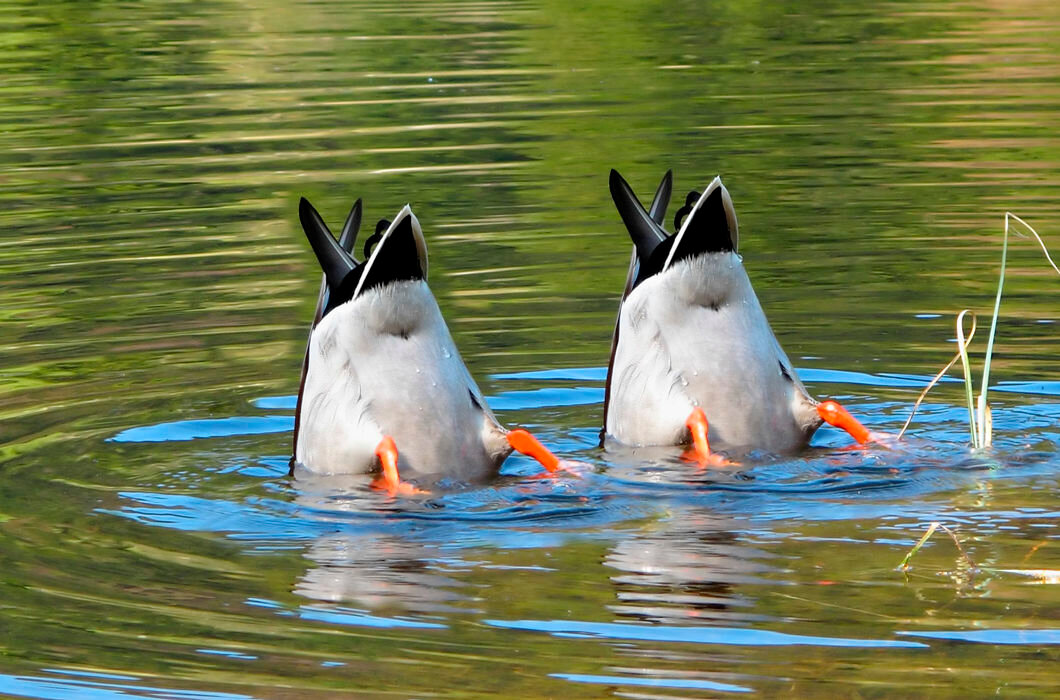 Смешные картинки с утками