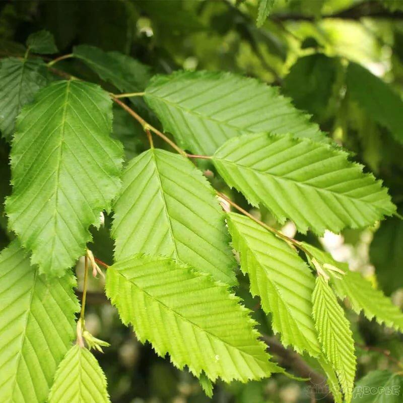 витаминизированные деревья средней полосы россии фото и названия порошок часто указывает