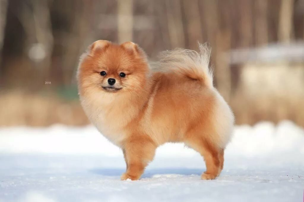 Покажите фото собаки шпиц