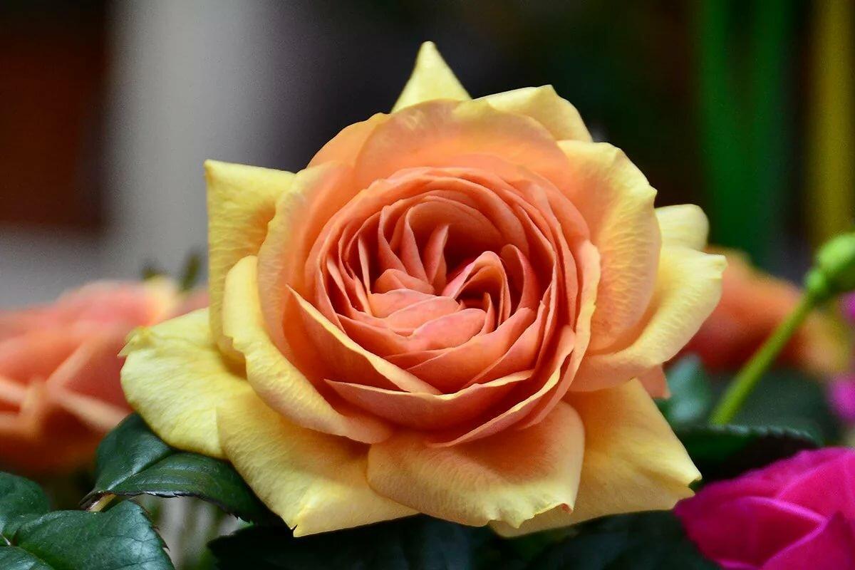 красивая картинка цветов чайная роза этом