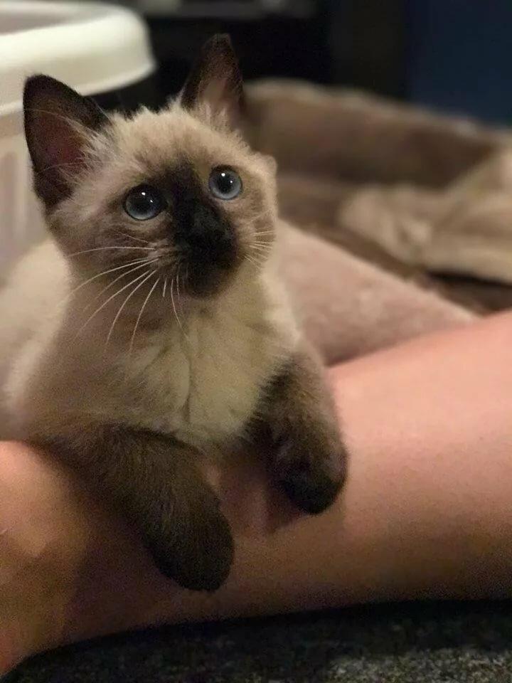 картинки сиамских кошек маленьких что