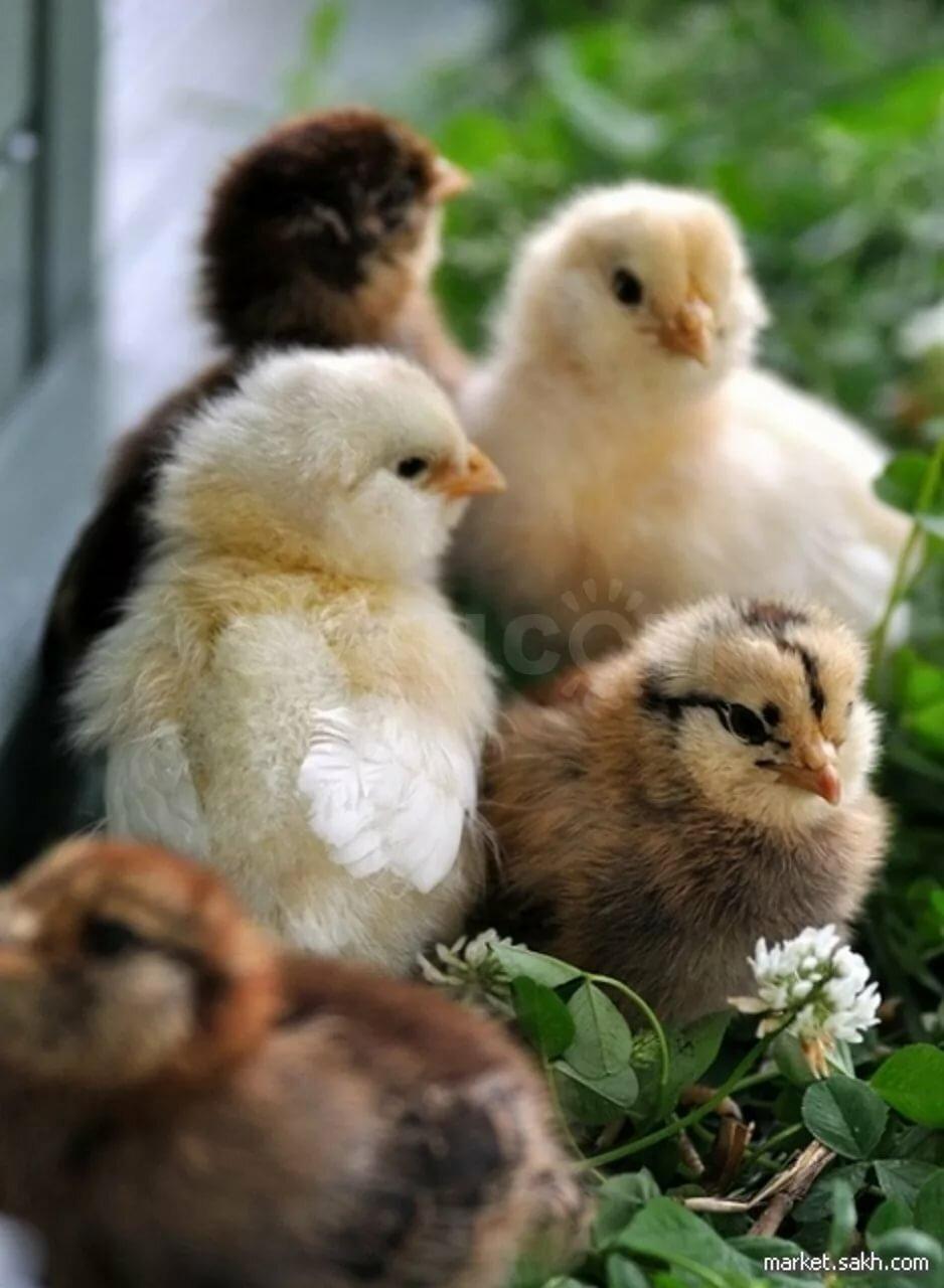 Картинки цыплята зимой