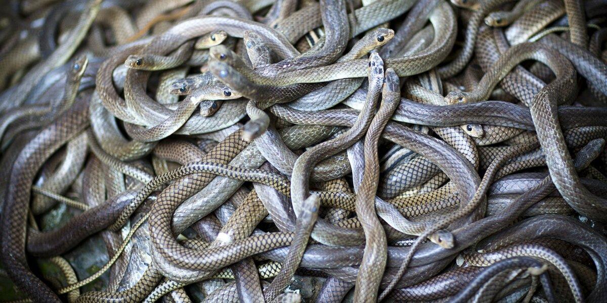 клубок змей фото настоящие