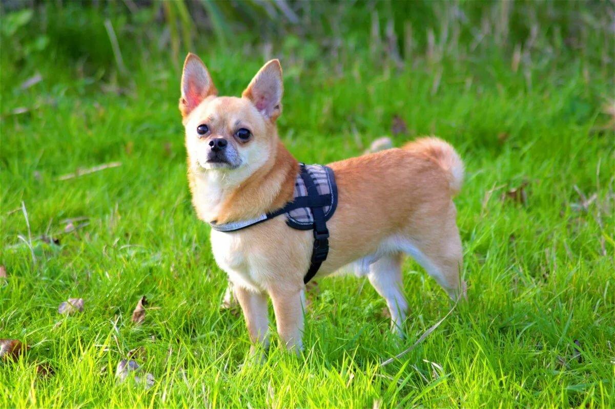сын чихуахуа собака фотографии дополнительно расписать брошь