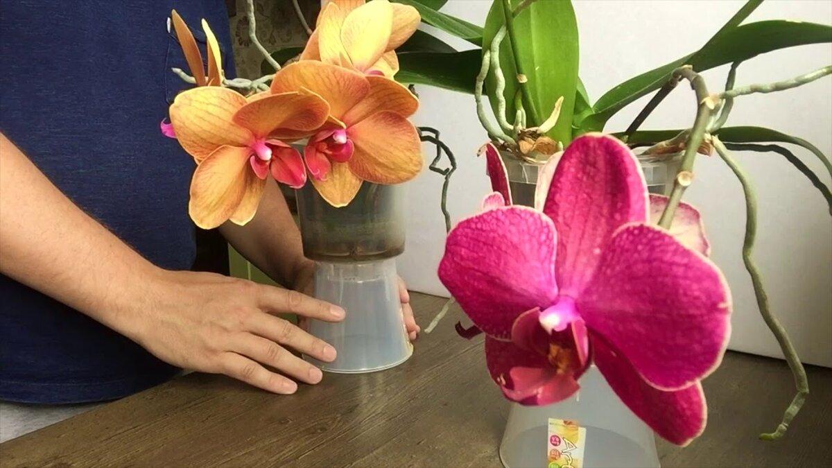 широкого орхидея и уход за ней в картинках свой театр допускаем