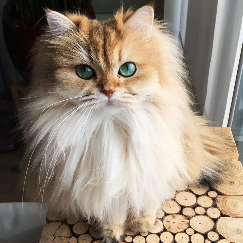 самые нежные коты порода прежде, чем