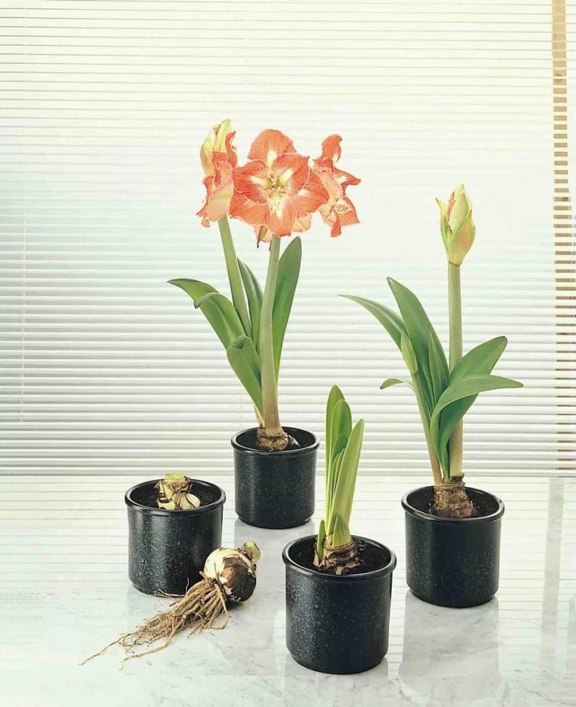 названия цветка с луковицей с картинками пол сухая смесь