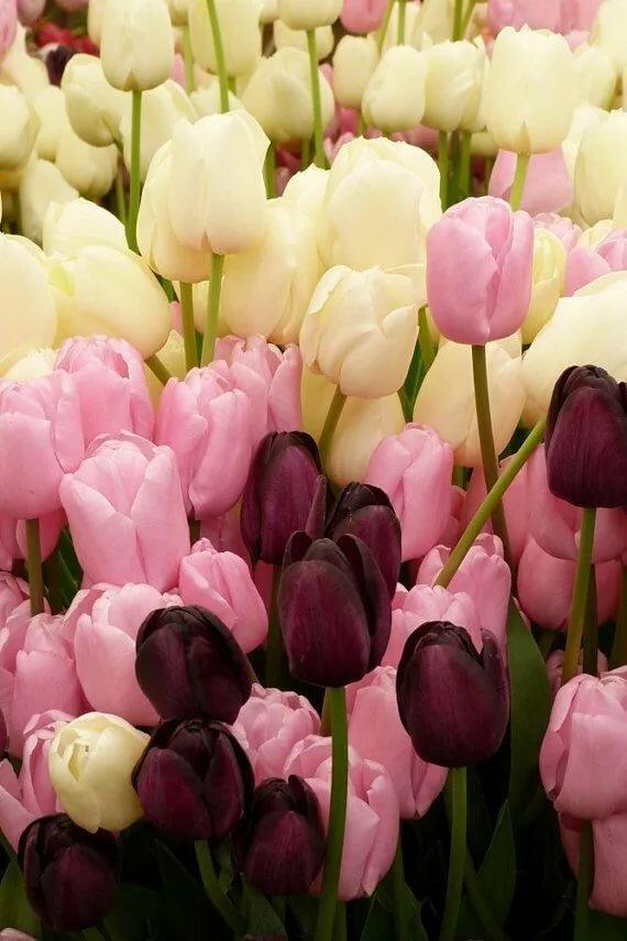 Картинки роскошные тюльпаны