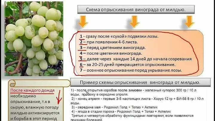 Обработка винограда весной от милдью: схема
