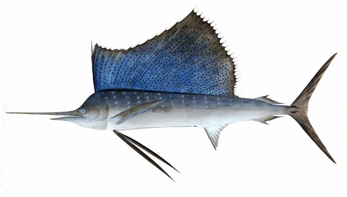 Парусники картинки рыба