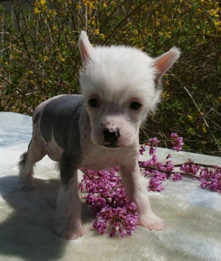 Китайские маленькие собаки картинки