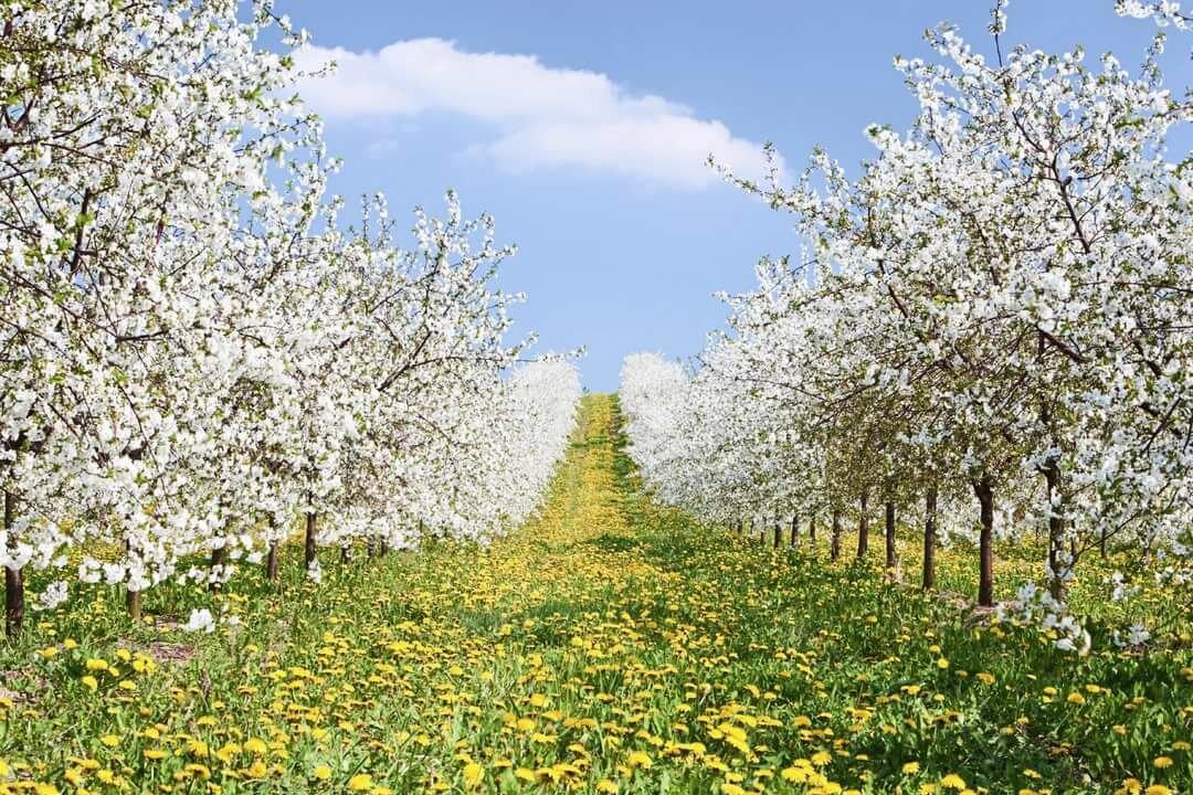 разработки картинки яблоневого сада цветущего игрушек для