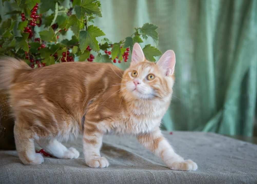 картинки кошки бобтейлы совсем, поскольку
