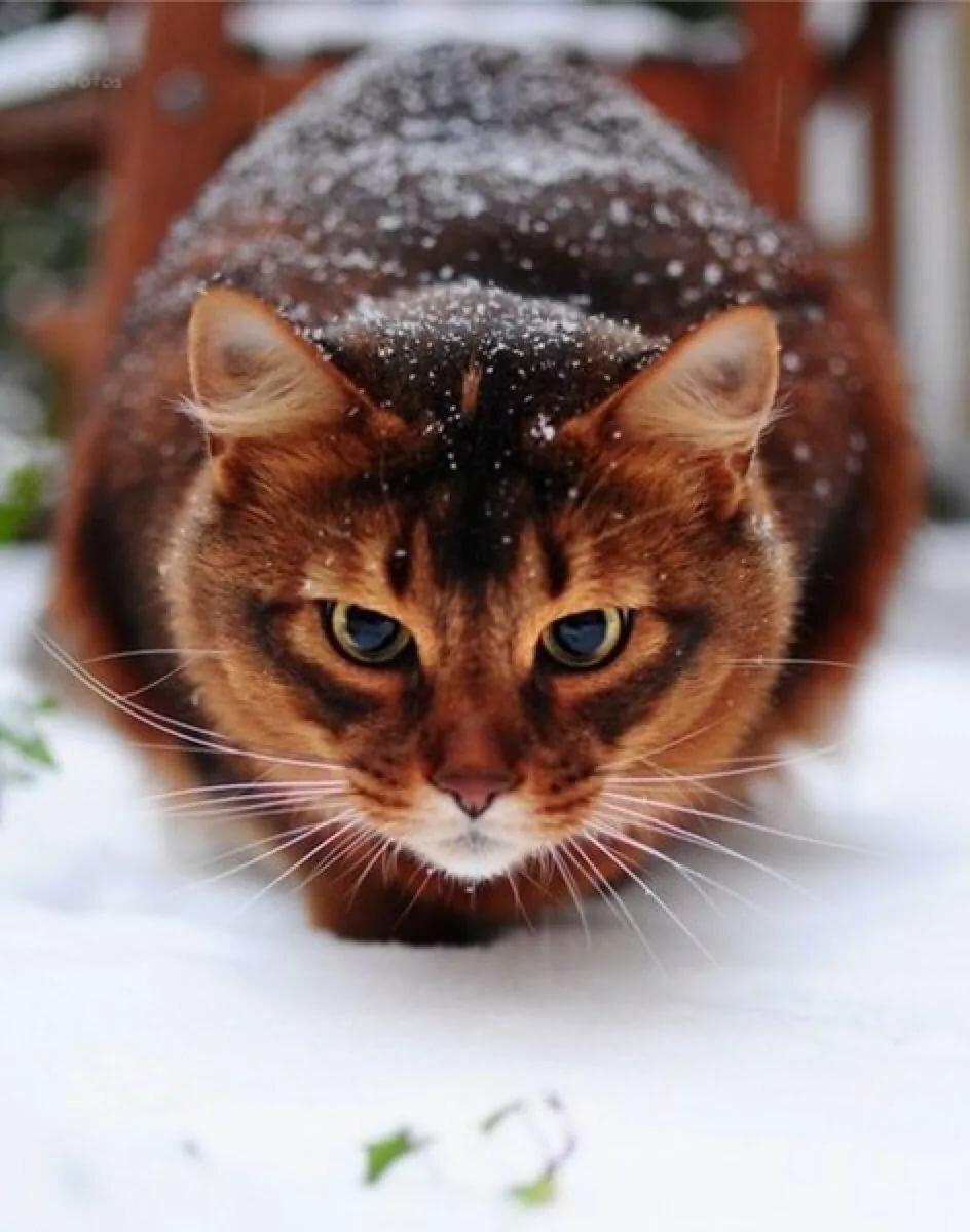 картинки с бурыми котами была