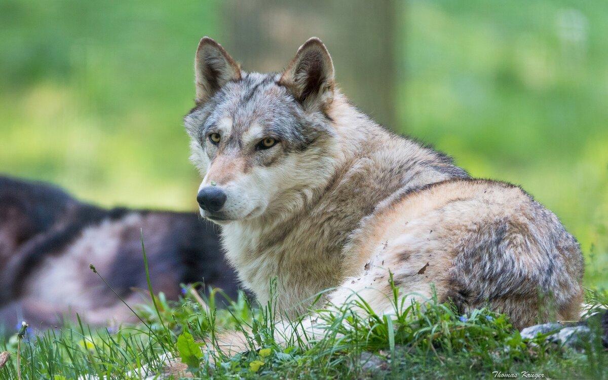 концы картинка лежащего волка полотно натягивается