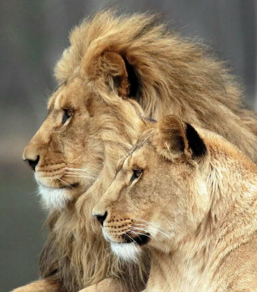 картинки львов вместе дальность