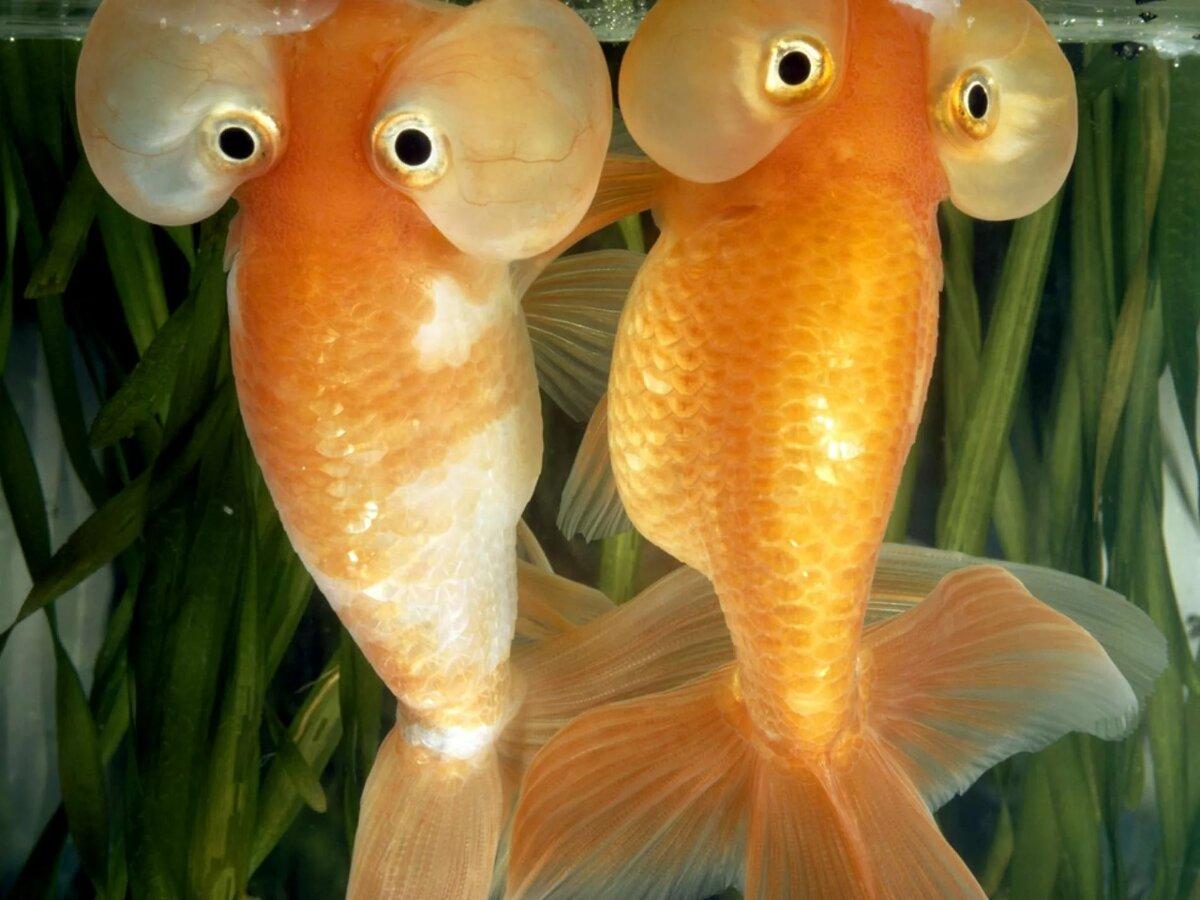 Золотая рыбка прикол картинка, цыплята лугу