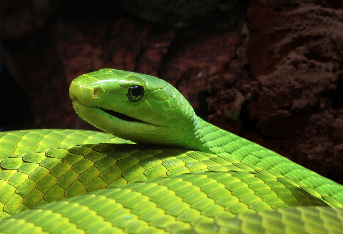 Зелёная Мамба Змея Фото