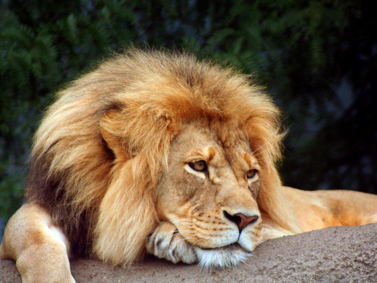 Надписью, картинки со львами с надписями