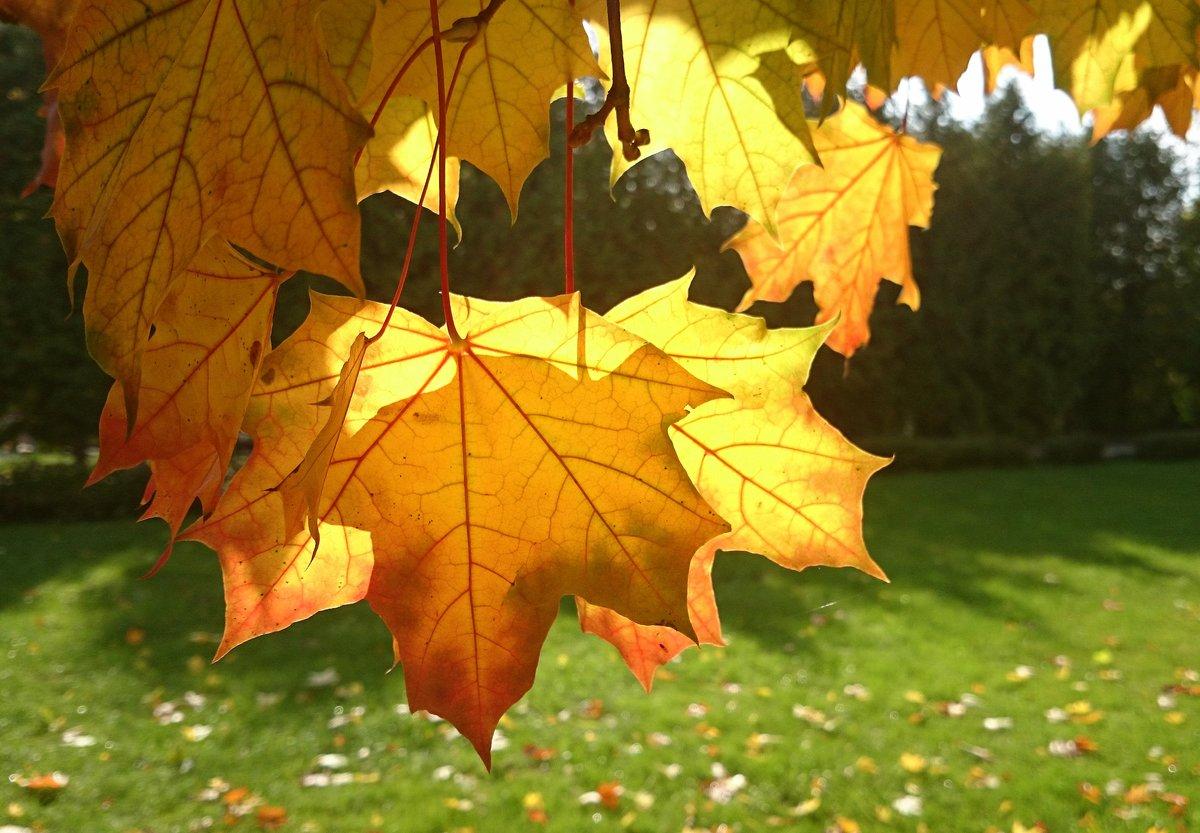 Листья золотые фото