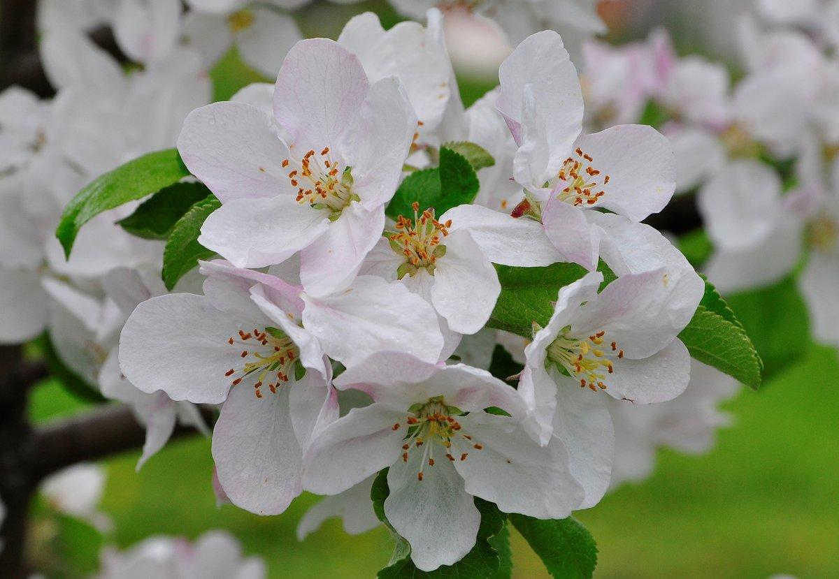 Так все, открытки с яблоневым цветом